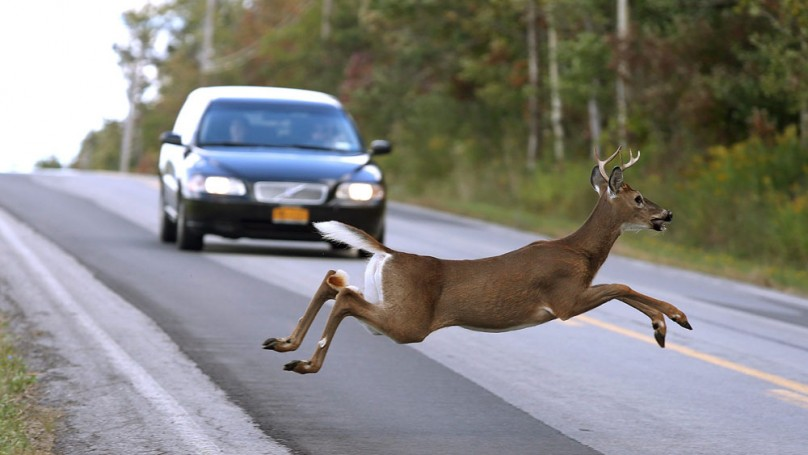 Deer caught in the headlights? Here's what you shouldn't do