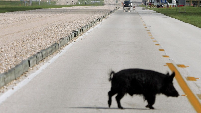 Wild hogs a big headache for drivers on Texas' new 85 mph toll road
