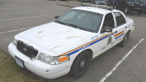Angry moose does a number on an RCMP Cruiser