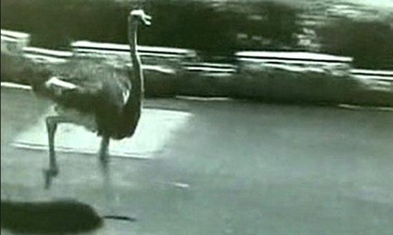 Rogue ostrich causes traffic chaos